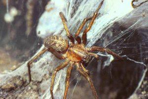 hobo-spider_0-300x200